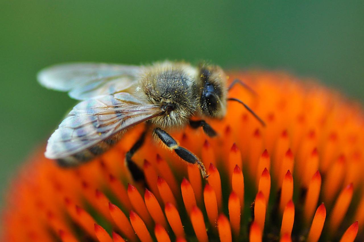 A qué se parecen las abejas africanizadas